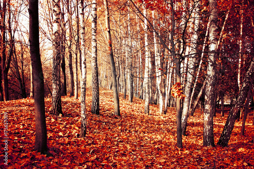 Papiers peints Orange eclat Scenic autumn nature landscape. Birch forest in fall.