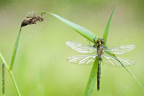 Fotografia, Obraz  Common Darter (Sympetrum striolatum)