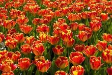 Red-yellow Tulips, Darwin Hybr...