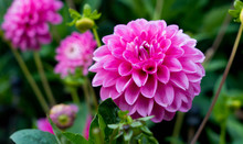 Beautiful Pink Dahlia At The G...