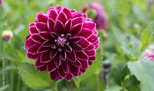 Beautiful purple and white grand dahlia in full bloom. Close-up with extremely shallow dof. Selective focus on center of dahlia.