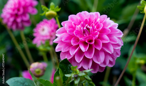 Spoed Foto op Canvas Dahlia Beautiful Pink dahlia at the garden.