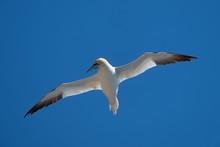 Flying Northern Gannet (Sula Bassana) (Morus Bassanus)