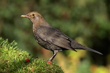 Blackbird - Female (Turdus Merula)