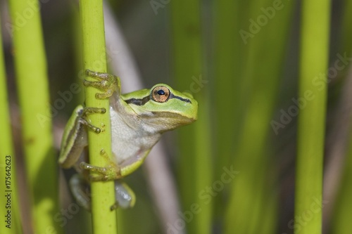 Photo European Tree Frog (Hyla arborea)