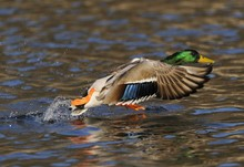 Mallard Duck (Anas Platyrhynch...