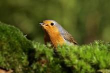 Robin - European Robin - Redbr...