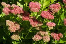 Flowering Stonecrop - Sedum Li...