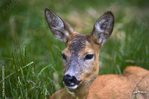 Fényképezés  Female Roe Deer (Capreolus capreolus), Estonia, Baltic States, Northeast Europe,