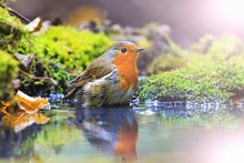 Robin With Drops Of Water On Feathers