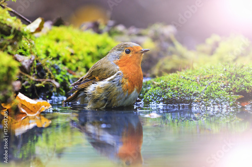 Photo  robin with drops of water on feathers