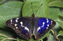 Purple Emperor (Apatura Iris)brush-footed Butterfly