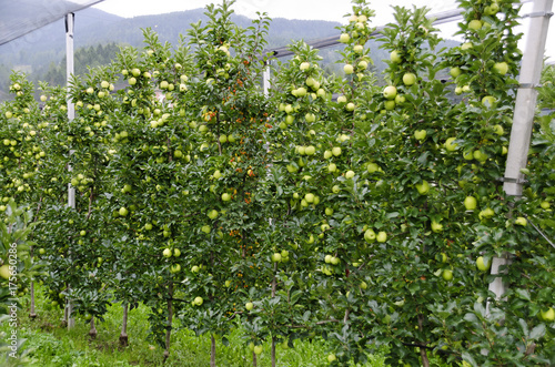 plantation with Golden Delicious apples