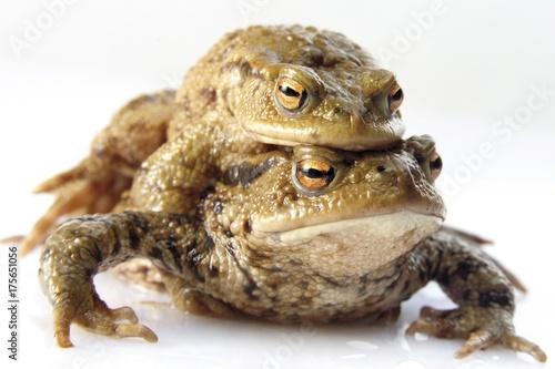Photo Two toads (Anura), female carrying male