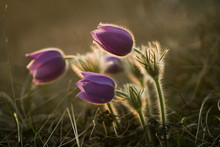 Common Pasque Flower (Pulsatil...