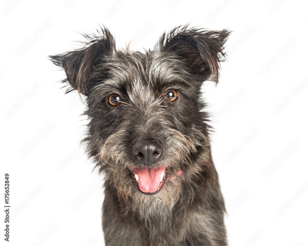 Fototapety, obrazy: Happy Scruffy Terrier Dog Closeup