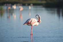 One Flamingo Bird Standing In A Natural Lake Outdoor