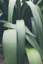 Close Up Raindrops On New Zealand Flax