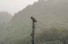 Kea Parrot Perched In The Rain