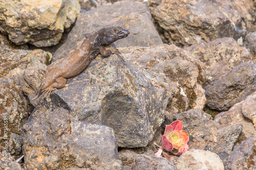 Papiers peints Hyène Southern Tenerife lizard that's lost its tail in Teide national park near Mirador Juan Evora