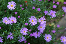 Perennial Asters - Small Lilac Flowers In Autumn In The Garden, Background