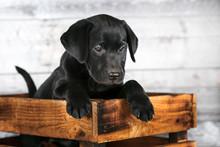 Adorable Black Lab Puppy