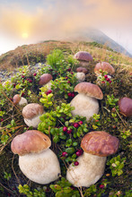 Lot Of White Mushrooms In The Carpathians