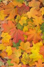 Autumn Colorful Maple Leaves Background Closeup