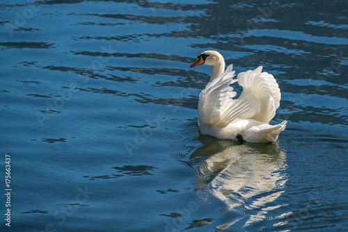 Poster Cygne Sunlit Mute Swan on Lake Hallstatt