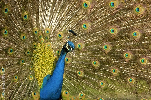 Fotografie, Obraz  Peafowl, Peacock (Pavo cristatus)