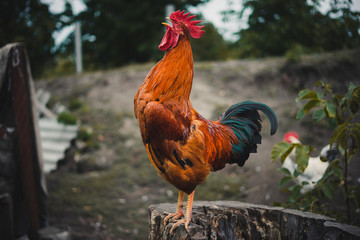 The red rooster sings on the stump. concept: it's time to weake up wake up.