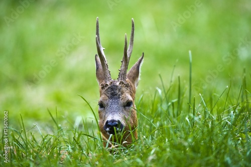 Vászonkép  Portrait of a Roe Deer (Capreolus capreolus), male, Estonia, Baltic States, Euro