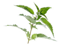 Stinging Nettle In Front Of A White Background