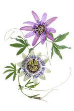 TTWO Colored Passion Flower Ha...