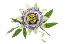 Blue Passion Flower Isolated O...