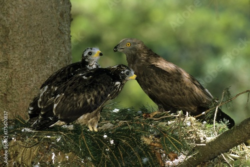 Male Honey Buzzard (Pernis apivorus) in its nest with two chicks Wallpaper Mural
