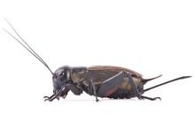 Femality Field Cricket (Gryllus Campestris)