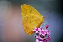 Orange-barred Sulphur Butterfly (Phoebis Philea) Perched On A Red Blossom