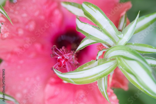 Foto op Canvas Madeliefjes Bright pink hibiscus flower with water droplets