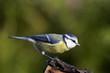 Blue tit - tits - nun - tomtit (Parus caeruleus) (Cyanistes caeruleus)
