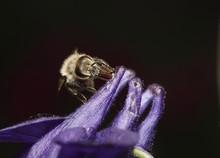 Honey Bee On Columbine, Aquile...