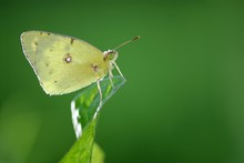 Moorland Clouded Yellow, Palae...