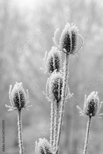 oszronione-kwiaty