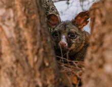 Brush Tailed Possum In Tree