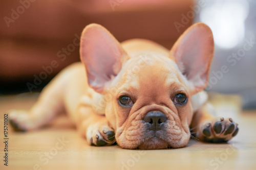 Fotografie, Obraz French Bulldog Puppy
