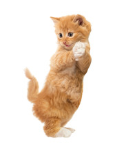 Funny, Rufous Kitten Standing On Hind Legs. Isolated