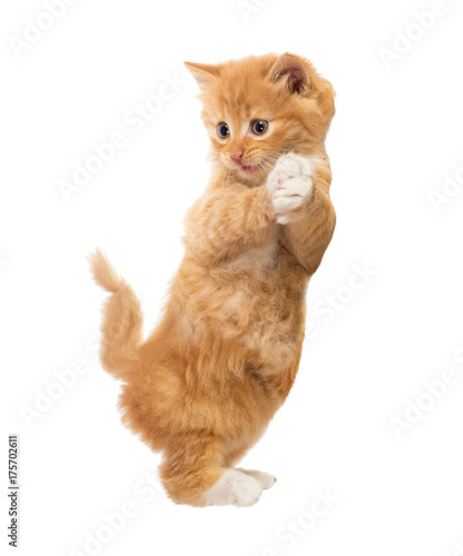 Funny, rufous kitten standing on hind legs. Isolated Wallpaper Mural