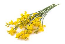 Yellow Broom Flowers