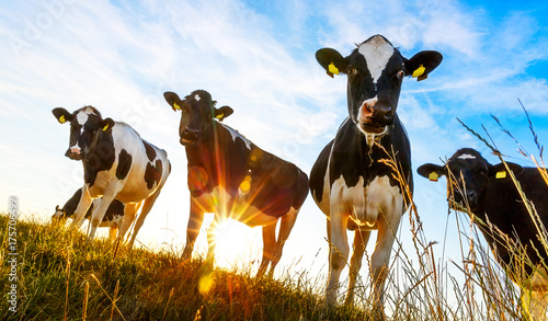 Recess Fitting Cow Group of cows in the evening light