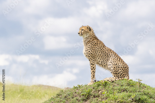 Cheetah (Acinonix jubatus) sitting on termite hill looking over savanna, Masai Mara, Kenya